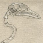 Boatbilled Heron Skeleton